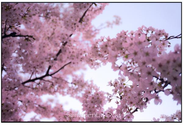 Sakura22.jpg
